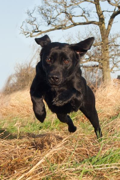 Labradoren er en meget alsidig jagthund