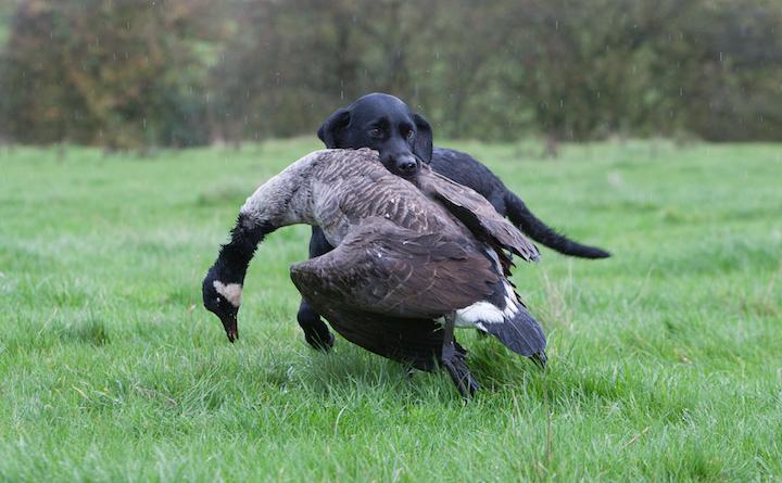 Labrador retrieveren vil apportere alt
