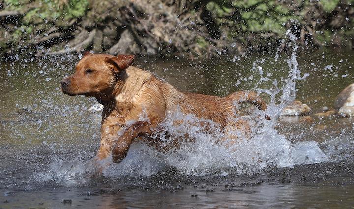 Labrador retriever i vand
