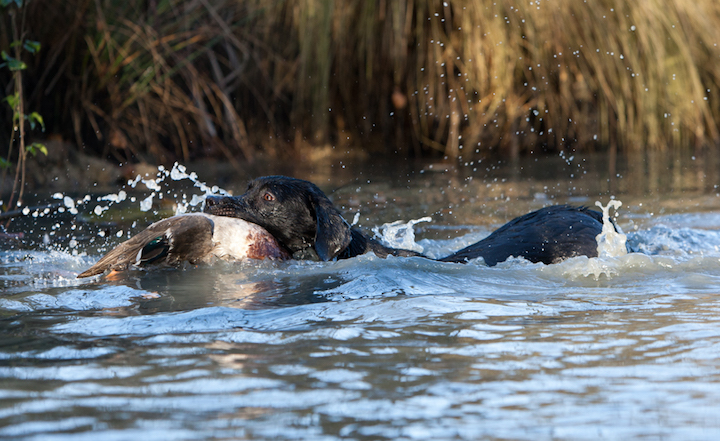 Labrador retriever apporterer på vand