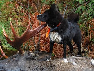 Karelsk bjørnehund med elg