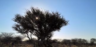 Vortesvin i Namibia
