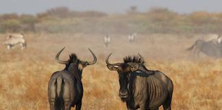 Wildebeast Namibia
