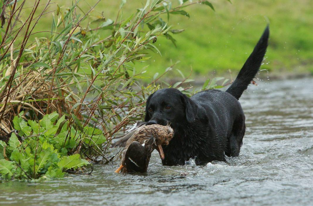 Labrador retrieveren er en populær jagthund