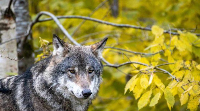 Svensk ulv