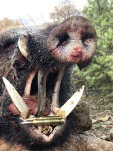 kæmpe tænder på tyrkisk vildsvin
