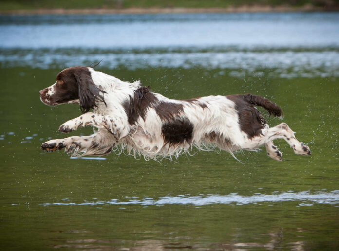 spaniel hund