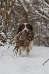 spaniel hund jagt