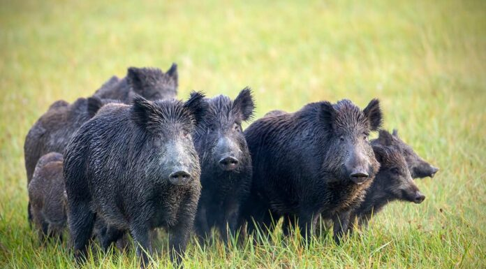 Vildsvin i flok. Tysk vildsvin bekræftet smittet med afrikansk svinepest