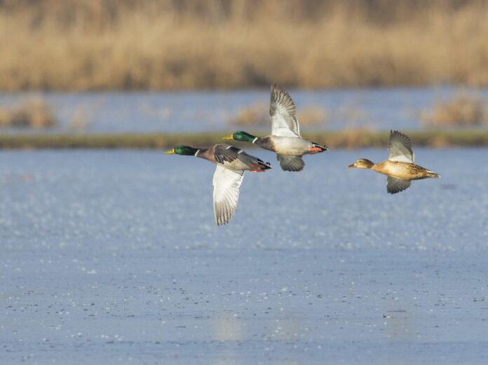 flyvende gråænder ved vådområde