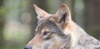 Licensjagt ulv