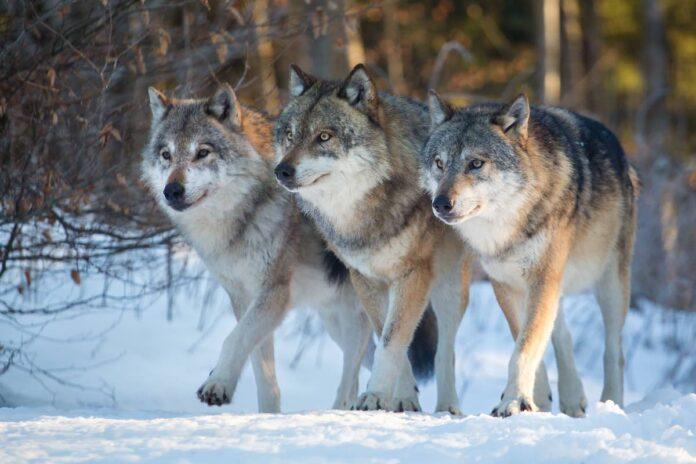 3 ulve går sammen