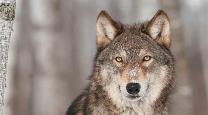 ulveforskning
