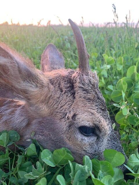 Rikkes spidsbuk nedlagt på jagt dette forår