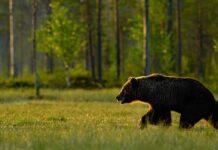 Licensjagt på bjørn i sverige