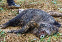 Der er fundet 1488 tilfælde af afrikans svinepest i tyskland
