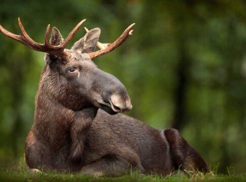 liggende elg i svensk skov