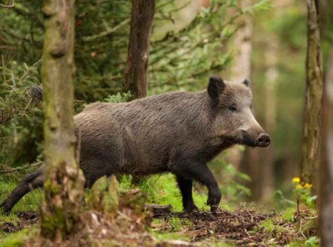 stort vildsvin i norsk skov