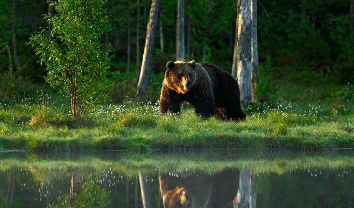 brun bjørn i Norge